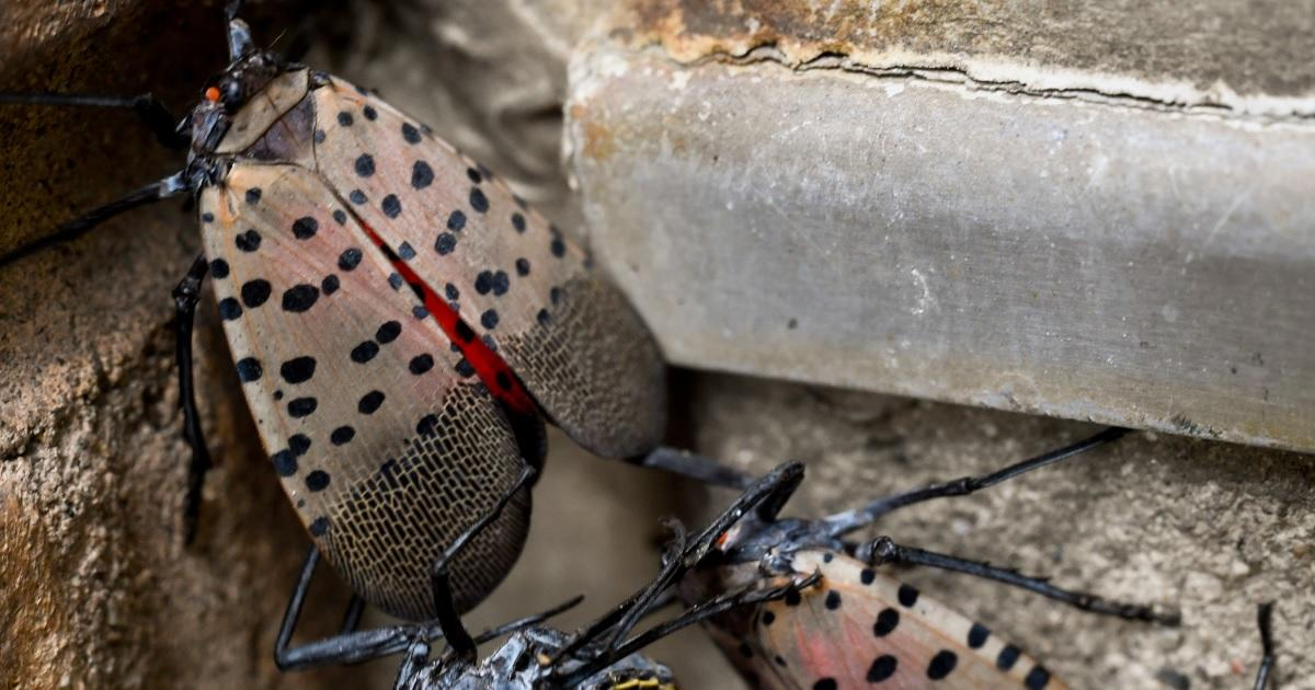 spotted-lanternfly-getty-images