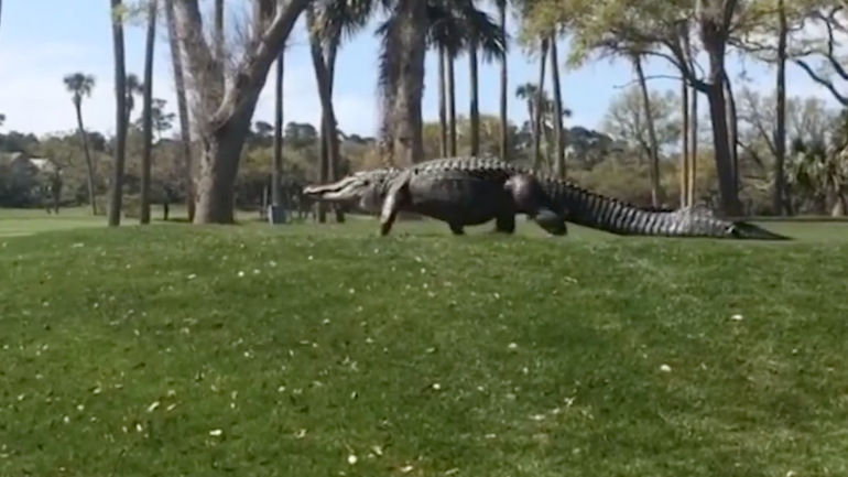 WATCH: Monster alligator makes a golf course his own in South Carolina