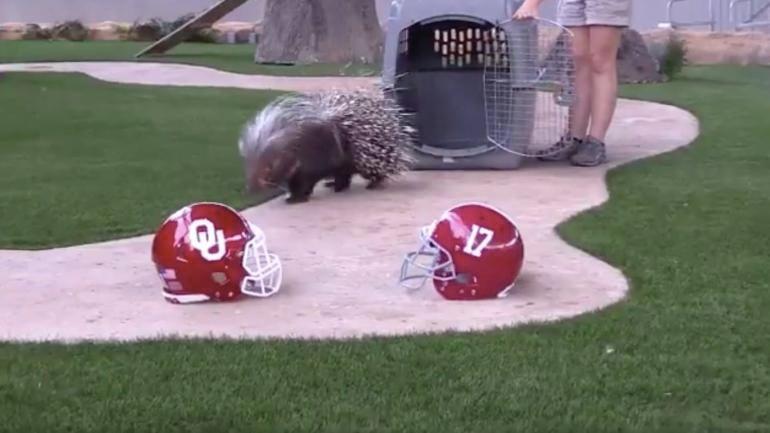 Porcupine-picks-oklahoma-over-alabama