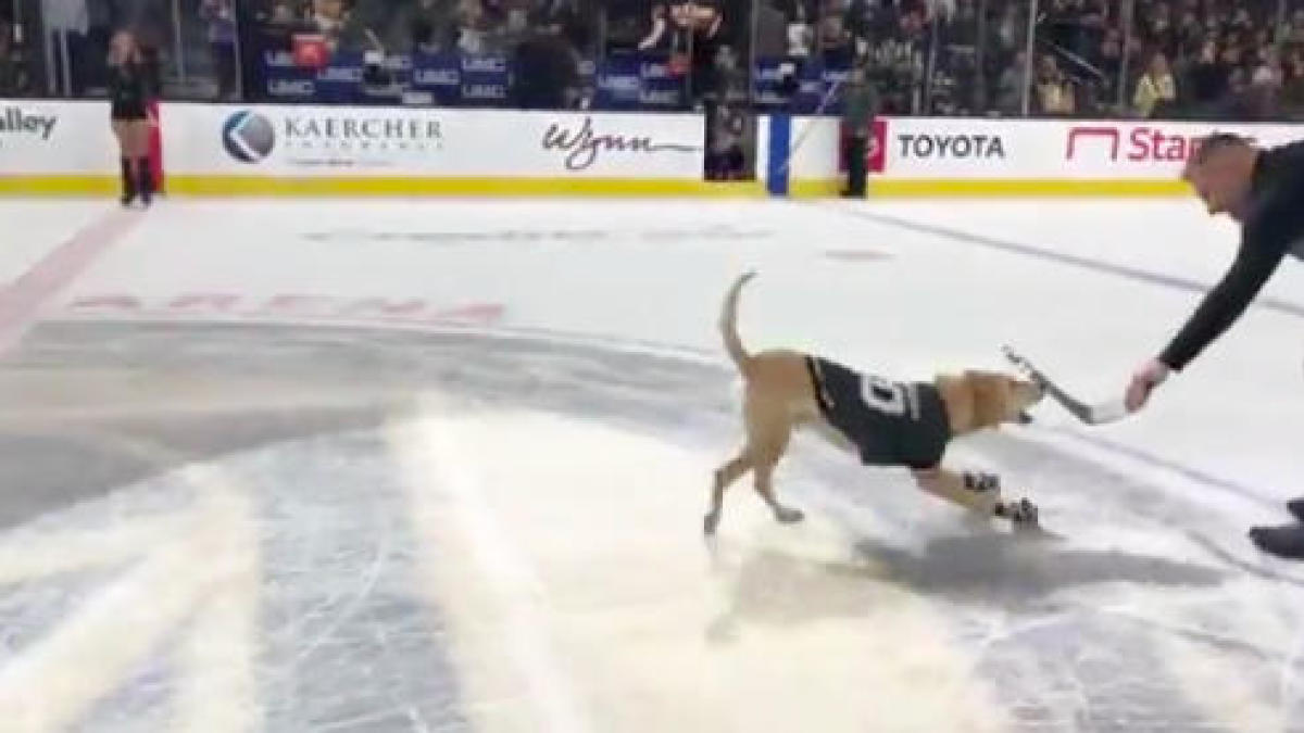 Adorable ice skating dog steals the show during Golden Knights intermission - CBS Sports