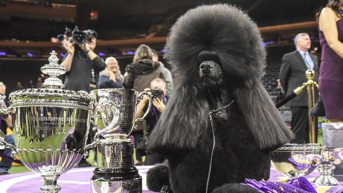 westminster-dog-show-winner-siba.jpg