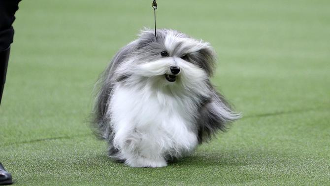 westminster-dog-show-running.jpg