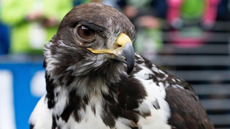 taima-the-hawk.jpg